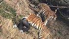 悲剧!动物园里游客被老虎叼走 目前男子已经...