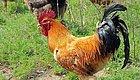 """全国仅剩1000只!上过国宴的""""土鸡之王"""",如今可以上自家餐桌!速速收下这个关于吃鸡的秘密真相!"""