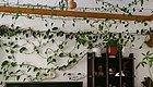 花友养的绿萝竟然绕客厅好几圈,太厉害了!