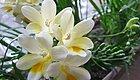 这些花,养一盆就能芳香满屋,过节给家里添上一盆吧!