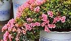 又到周末,推荐几种过年期间开花的吉祥花卉!