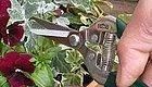 这几种植物黄叶千万别手软,越剪才能越旺盛,变身满满一大株