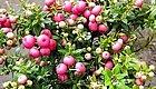 这大概是冬日最美的小盆栽了,十人九爱,见过的都想养