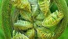 蕨菜大量上市,央视曝出它强致癌?