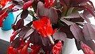 家里养的蟹爪兰叶子变红干瘪,还长很多花苞,却是隐藏危机