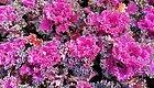 过年街道上最常见的14种年宵花卉,你能认出几种?
