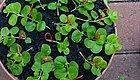 金叶过路黄可以直接剪段茎平放土面上,5天生根,一月长满整盆