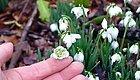 在冬春寒冷的雪地里也能开花的雪花莲,比大蒜还要好养