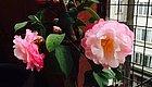 盆栽山茶花在花朵开放前后要补充什么肥料,才能保持常年开花