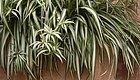 让吊兰变成家里的大型观赏盆栽,养护有几点秘诀