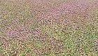 紫色梦幻!化州这个村子有一片浪漫的紫色花海!请茂名人查收!丨打造乡村旅游(499)