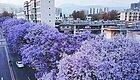 这座被蓝花楹攻陷的四川小城,又到了最美的季节!